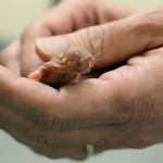 Hands holding naked mole-rat