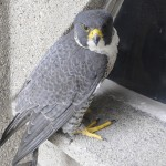 Peregrine falcon Rosie sits on a ledge at UH