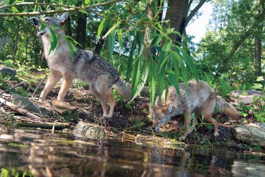 Fake coyotes in the Cook County Forest Preserve