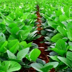 Rows of soy bean plants
