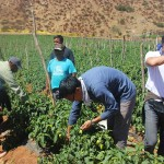 Tim Lee and others picking peppers