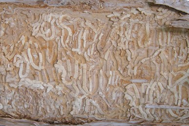 Emerald Ash Borer galleries in the trunk of a tree