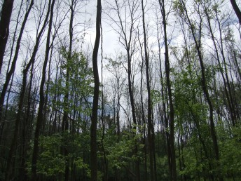 Canopy openings in a forest due to emerald ash borers