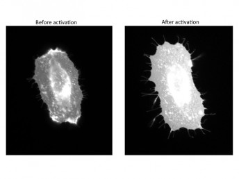 Cells before and after activation