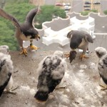 Nitz and Mouse keep their chicks from the ledge of UH