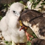 Adult peregrine falcon feeds chick