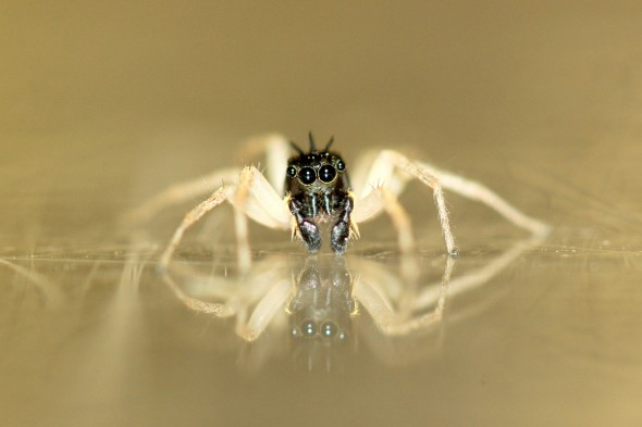 Macro photo of a jumping spider