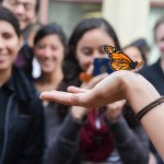 A monarch butterfly released from the UIC Heritage Garden