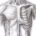medical illustration of skeleton and musculature