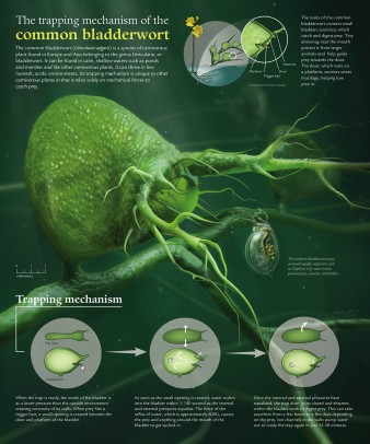 Poster illustrating the trapping mechanism of the common bladderwort