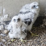 Falcon chicks after banding was completed.