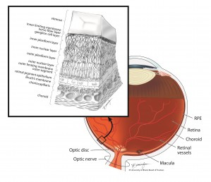 The layers of the retina include the RPE. Illustration: Lisa Birmingham