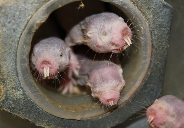 Naked mole-rats: plants, under low-oxygen conditions