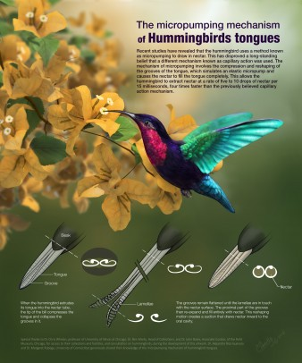 """Micropumping Mechanism of Hummingbirds' Tongues"" poster"