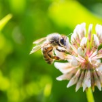 honeybee on a clover flower