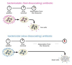 Bacteriostatic vs. bactericidal antibiotic dissociation