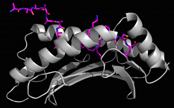 An x-ray crystallography generated image of a long foreign peptide (purple) being partially held inside MHC I protein's surface groove (grey).