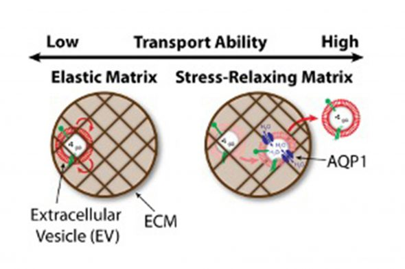Extracellular vesicles (EVs)