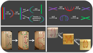 4-D hydrogel-based materials can undergo multiple conformational shape changes in response to environmental cues. (Image: Aixiang Ding)